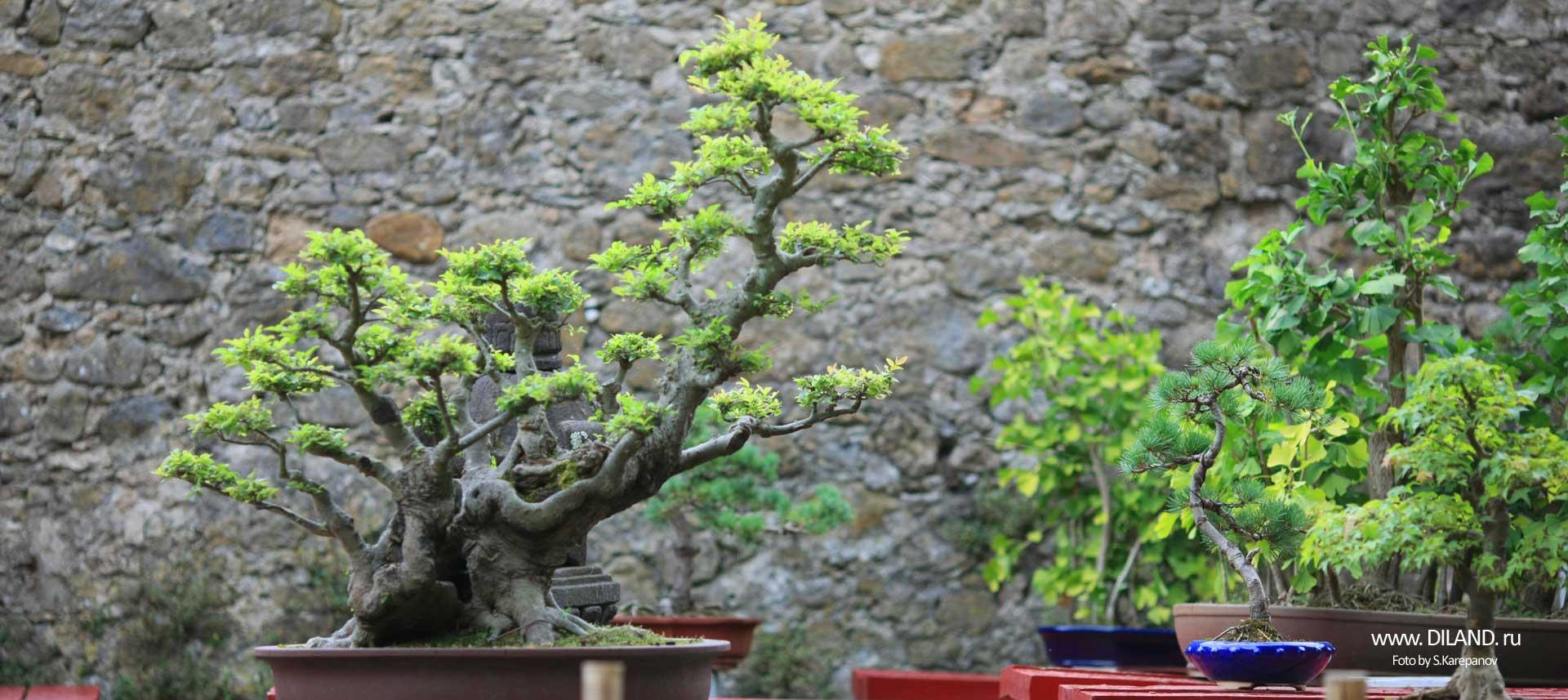 бонсаи фото сад
