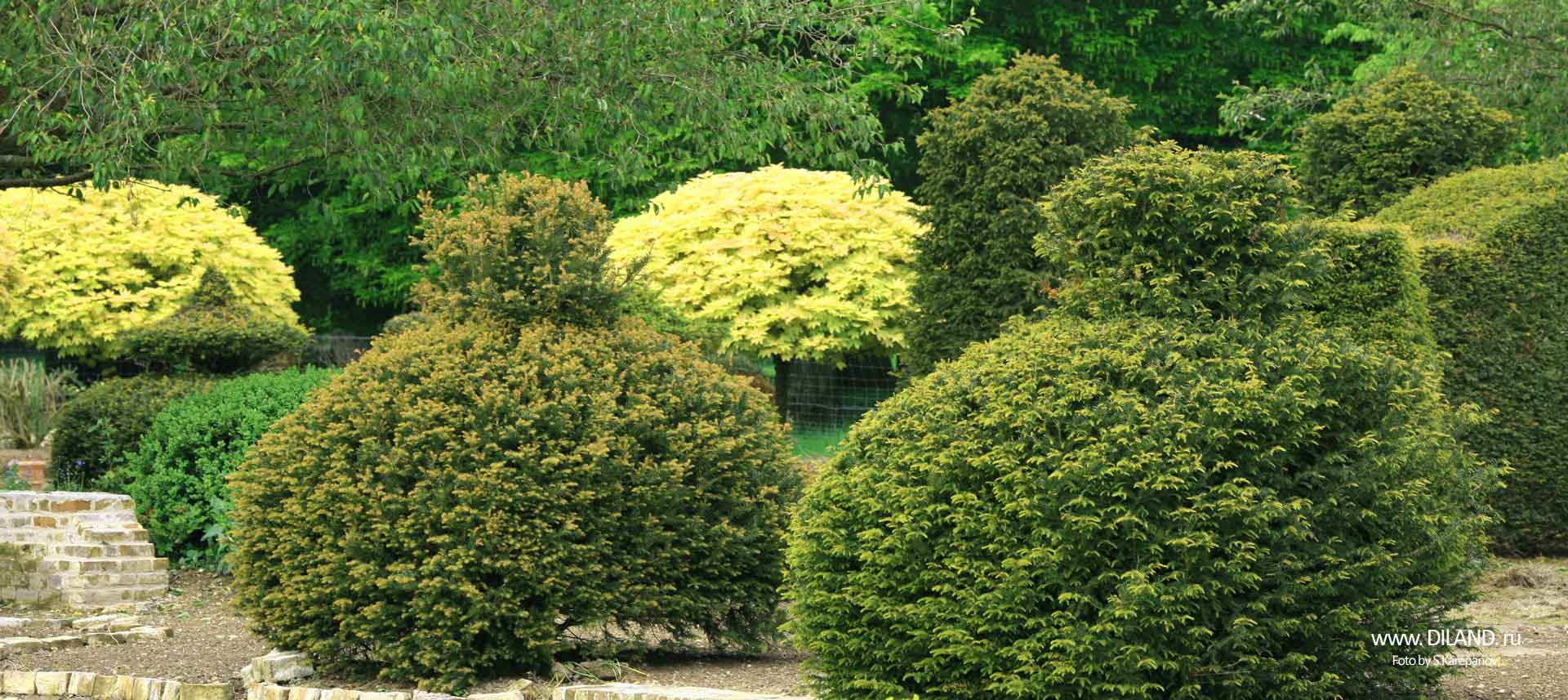 кустарники для озеленения фото