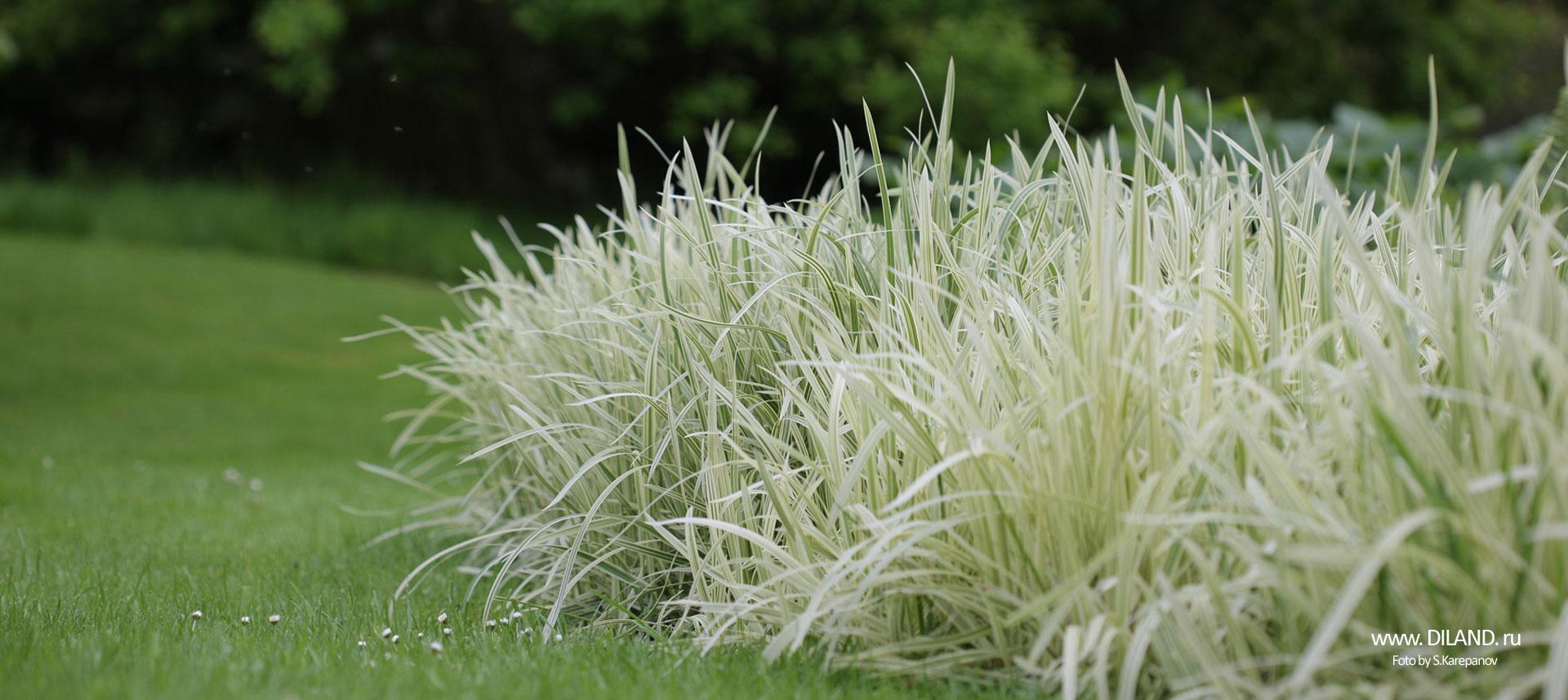 злаковые травы