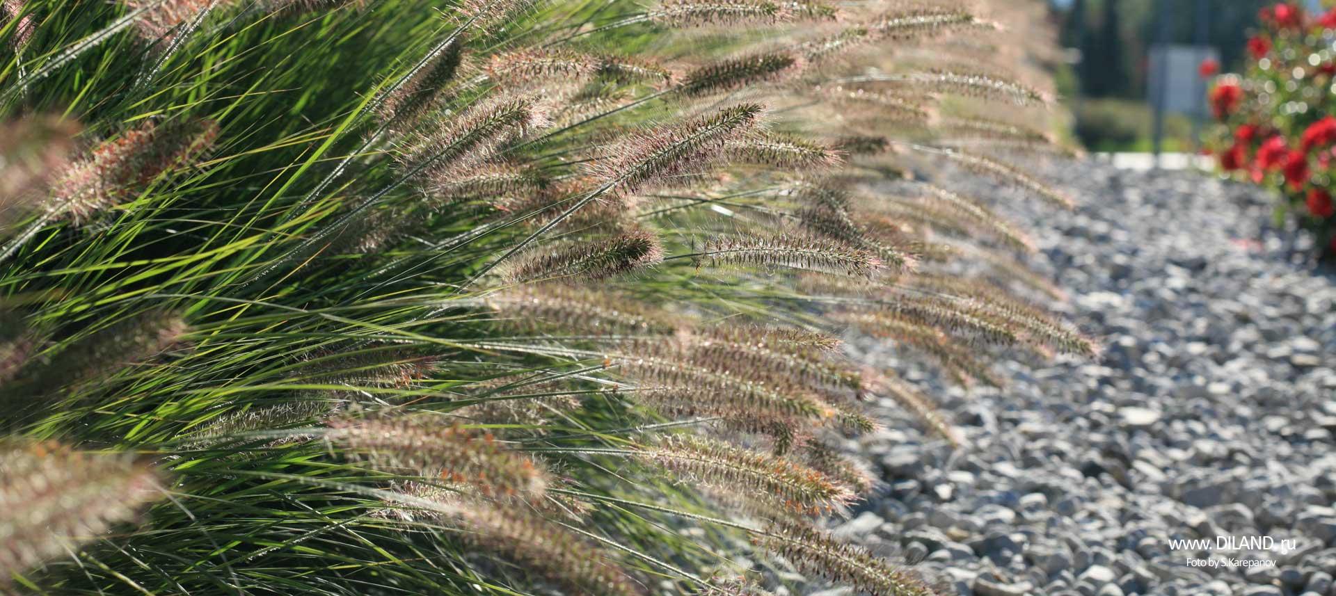 злаковые травы фото